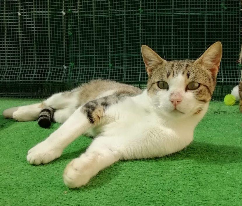 nico gato joven en adopcion en la protectora para animales abandonados de jaca huesca 2021