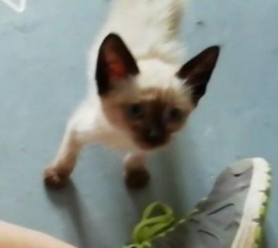 POMELO gatito BEBE SIAMES EN ADOPCIÓN EN LA PROTECTORA PARA ANIMALES ABANDONADOS DE JACA 2021