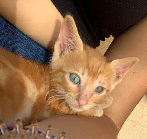 NIZO GATO BEBE GATITO en adopción en la protectora de animales de Jaca HUESCA