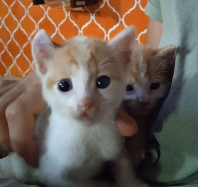 jordan y ronaldo gatitos macho en adopción en la protectora de animales de Jaca huesca 2021