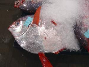 Opah fish, Moonfish, opah fish facts, opah fun facts