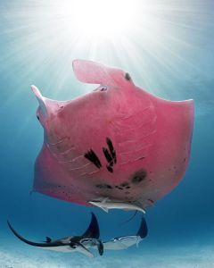 pink manta ray, manta ray Australia