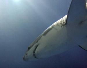 great white shark, Monterey Bay Aquarium