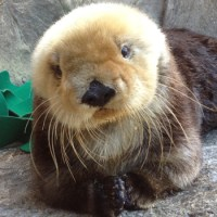 Joy the surrogate sea otter mother