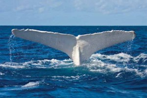 the'albino' humpback whale of eastern Australia