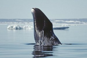 Greenland right whale