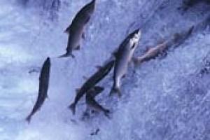 salmon upstream