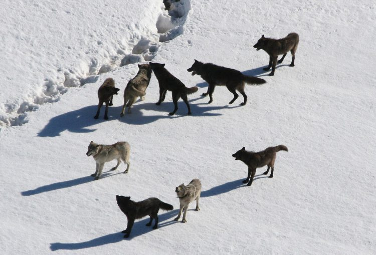 sacred resource protection zone, protect yellowstone wolves, protect the wolves, wolves, wolf