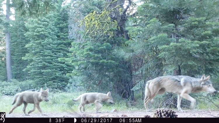 protect the wolves, lassen pack, wolves in california