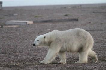 Polar bears are regular vistors.
