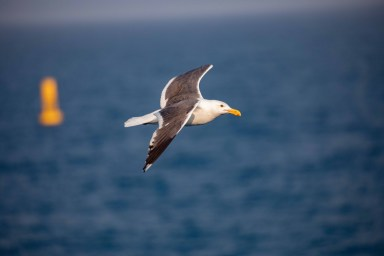 The Western Gulls are residents of Farallon Islands and they're quite abundant. Unlike the other birds out here, they forage in the wild, but they also come very close to human activities and interact with people. Western Gulls are much less isolated than the other species studied on the islands. Image Credit: Julie Chase/ACCESS/NOAA/Point Blue