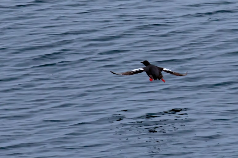 Pigeon Guillemots are a coastal species that are locally common, meaning they are common in areas suited to their needs. You won't spot them on sandy beaches, but in places with rocky outcrops and where they like to nest in inaccessible rocky crevices. To Lindquist, this speaks to the different survival strategies adopted out here: Common Murres nest in large colonies, seeking protection as group; Cassin's Auklet's are nocturnal and nest in burrows; and, Pigeon Guillemots use the rocky crevices for protection while breeding. Image Credit: Julie Chase/ACCESS/NOAA/Point Blue