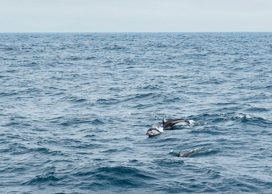 Pacific White-Sided Dolphins. Image Credit: Jenny Woodman/ACCESS/NOAA/Point Blue