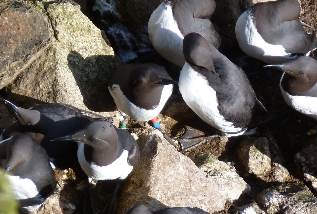 The Uncommon Common Murre