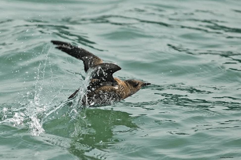 A marbled murrelet in breeding plumage takes flight.