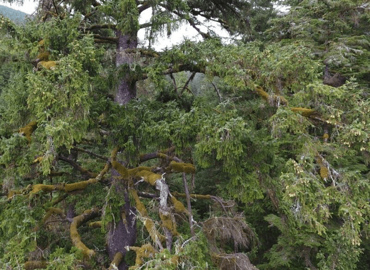 The availability of big trees with mossy branches large enough to hold an egg or a growing nestling can limit murrelet reproduction as old-growth forest succumbs to fire and harvesting.
