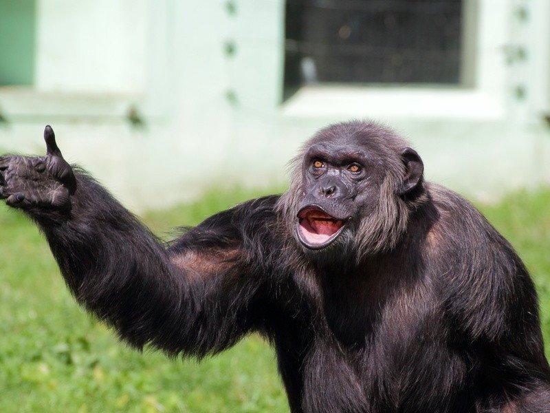 zašto majmuni ne pokazuju? zašto ljudi pokazuju? (ulomak iz Michael Tomasello, Why Don't Apes Point?)
