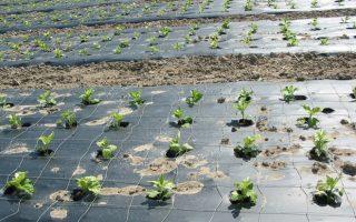 Мульчирование почвы: польза, способы, материалы. Все о мульчировании почвы: польза, технологии, материалы Как правильно делать мульчирование почвы