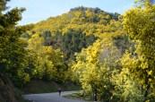 Forêt de mimosas. Tanneron.