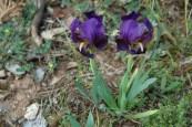 Iris nain (sauvage).