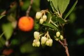 Arbousier. Fleurs et fruit.