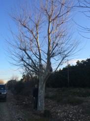 Plane tree 120-140cm €7,500