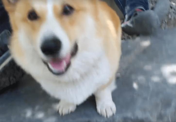 超可愛い!!「バーン」撃たれて倒れる月明洞犬コーギー