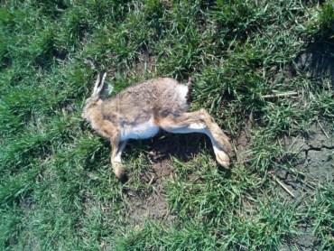 За загибель борсуків та зайців у Тернопільському районі будуть відповідати аграрії