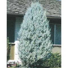 Можжевельник скальный Мунглоу, Juniperus scopulorum ...