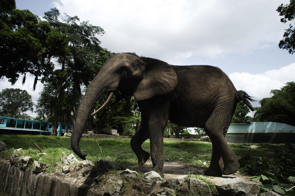 Michael Zumstein - 4 - Ivory Coast - Elephant