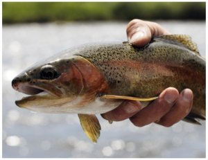 trout in hand