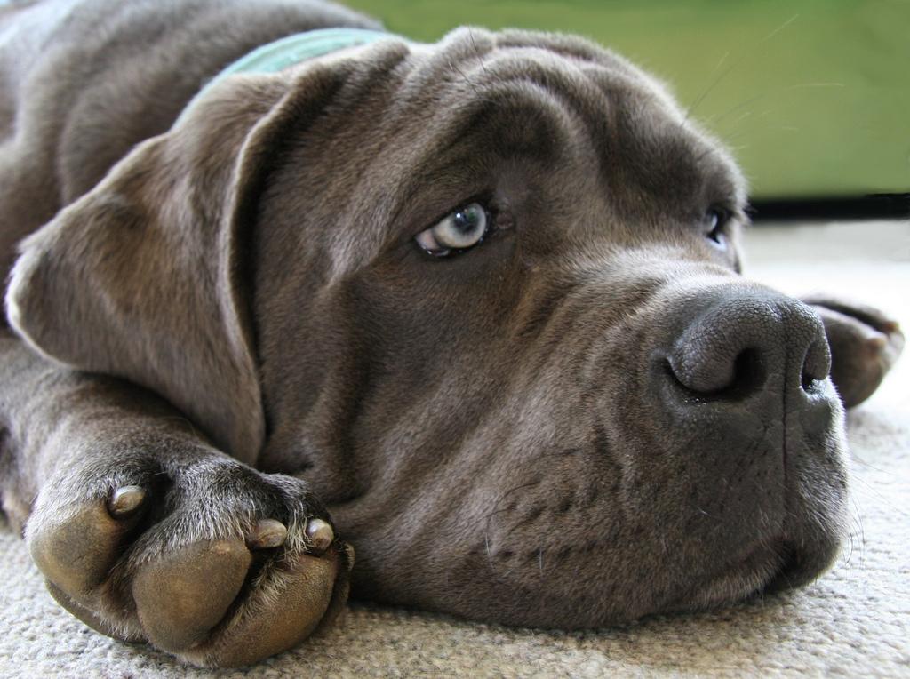 Pistas para detectar el dolor en tu mascota