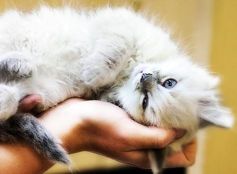 El ronroneo del gato