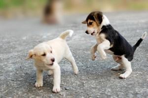 Cachorros sociabilizando