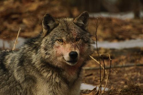 El lobo, antecesor del perro