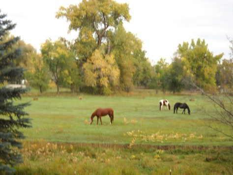 Horses enjoy the fall pasture after our hay has been harvested - Poudre River Stables - Fort Collins - Colorado - 80521