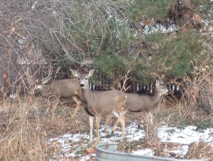 Mule deer in side garden - Poudre River Stables - Ft. Collins, CO