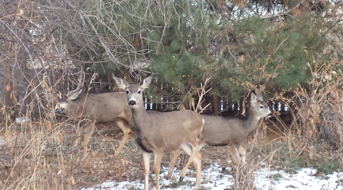 What to my wondering eyes should appear – mule deer!