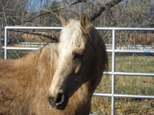 Stardust - rescued Morgan finds forever home - Poudre River Stables - Ft. Collins - CO - 80521