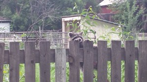 Raccoons - Possible sick raccoon struggles to stay on the fence - Poudre River Stables - Fort Collins - CO 80521
