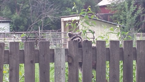 Possible sick raccoon struggles to stay on the fence - Poudre River Stables - Fort Collins - CO 80521