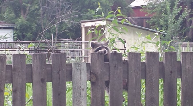 Raccoons: In Sickness or in Health?