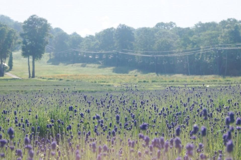 【7月1日撮影】遠目に見ても紫色とわかるくらい色づきました