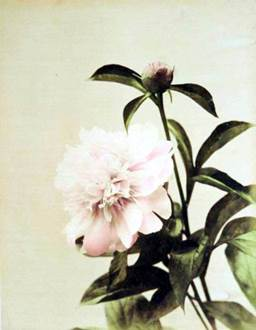 金幣写真館(日下部金兵衛) 《ツバキ》 1880~90年代、鶏卵紙に手彩色 (C) MNAAG.