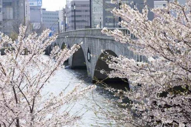 萬代橋と桜