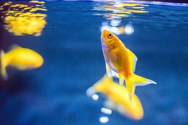 金魚展示イメージ(イエローコメット)