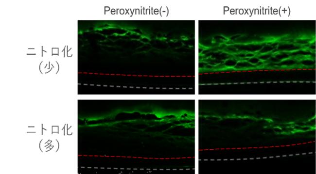 角層バリア機能の比較(外来物質の浸透度)