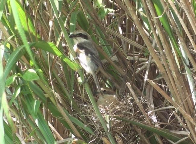 2012年喜界島で初めて見つかったモズの巣