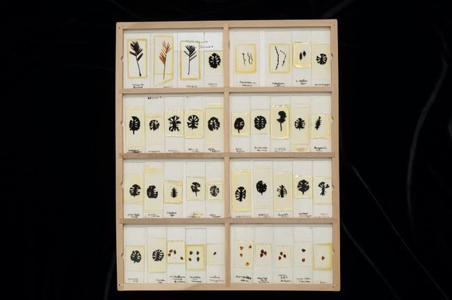 三木博士が研究したメタセコイア標本 所蔵:大阪市立自然史博物館