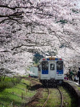 松浦鉄道・浦ノ崎駅の桜 撮影/pino1980さん